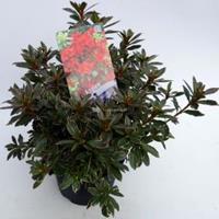 "Plantenwinkel.nl Rododendron (Rhododendron Japonica ""Hotshot Variegata"") heester - 30-35 cm - 1 stuks"
