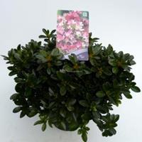 "Plantenwinkel.nl Rododendron (Rhododendron Japonica ""Izum-No-Mai"") heester - 30-35 cm - 1 stuks"