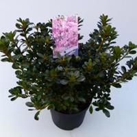 "Plantenwinkel.nl Rododendron (Rhododendron Japonica ""Kermesina Rose"") heester - 30-35 cm - 1 stuks"