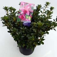 """Plantenwinkel.nl Rododendron (Rhododendron Japonica """"Kermesina"""") heester - 30-35 cm - 1 stuks"""