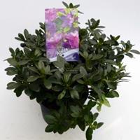 """Plantenwinkel.nl Rododendron (Rhododendron Japonica """"Konigstein"""") heester - 30-35 cm - 1 stuks"""