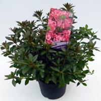 "Plantenwinkel.nl Rododendron (Rhododendron Japonica ""Madame van Hecke"") heester"