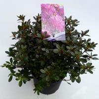 "Plantenwinkel.nl Rododendron (Rhododendron Japonica ""Purpurtraum"") heester - 30-35 cm - 1 stuks"