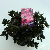 """Plantenwinkel.nl Rododendron (Rhododendron Japonica """"Rokoko"""") heester - 30-35 cm - 1 stuks"""