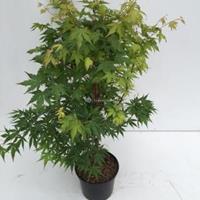 Plantenwinkel.nl Japanse esdoorn (Acer Palmatum) - 60-70 cm - 1 stuks