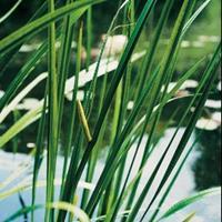 Moeringswaterplanten Kalmoes (Acorus calamus) moerasplant - 6 stuks