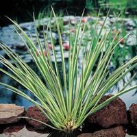 Moeringswaterplanten Dwergkalmoes (Acorus gramineus) moerasplant - 6 stuks