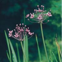 Moeringswaterplanten Zwanenbloem (Butomus umbellatus) moerasplant - 6 stuks