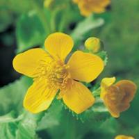 Moeringswaterplanten Dotterbloem (Caltha palustris) moerasplant - 6 stuks
