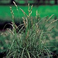 Moeringswaterplanten Palmzegge (Carex Muskingunemsis) moerasplant - 6 stuks