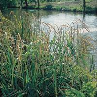 Moeringswaterplanten Hangende zegge (Carex pendula) moerasplant - 6 stuks