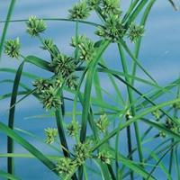 Moeringswaterplanten Parapluplant (Cyperus alternifolius) moerasplant - 6 stuks