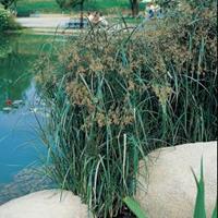 Moeringswaterplanten Lang cypergras (Cyperus longus) moerasplant - 6 stuks