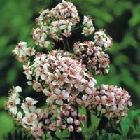 Moeringswaterplanten Schildblad (Darmera peltata) moerasplant - 6 stuks