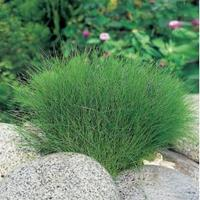 Moeringswaterplanten Naaldwaterbies (Eleocharis acicularis) zuurstofplant - 6 stuks
