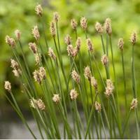 Moeringswaterplanten Gewone waterbies (Eleocharis palustris) moerasplant - 6 stuks