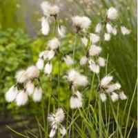 Moeringswaterplanten Veenpluis (Eriophorum angustifolium) moerasplant - 6 stuks