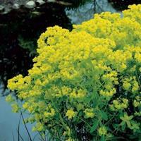 Moeringswaterplanten Moeraswolfsmelk (Euphorbia palustris) moerasplant - 6 stuks