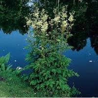 Moeringswaterplanten Moerasspirea (Filipendula ulmaria) moerasplant - 6 stuks