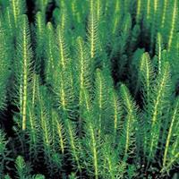 Moeringswaterplanten Lidsteng (Hippuris vulgaris) zuurstofplant - 6 stuks