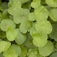Moeringswaterplanten Gewone waternavel (Hydrocotyle vulgaris) zuurstofplant - 6 stuks