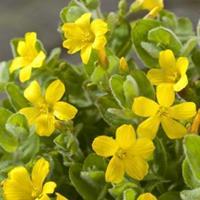 Moeringswaterplanten Moerashertshooi (Hypericum elodes) moerasplant - 6 stuks