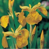 Moeringswaterplanten Gele iris (Iris pseudacorus) moerasplant - 6 stuks
