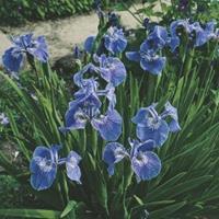 Moeringswaterplanten Borstelige iris (Iris Setosa) moerasplant - 6 stuks