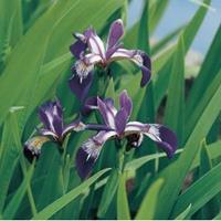 Moeringswaterplanten Amerikaanse iris (Iris versicolor) moerasplant - 6 stuks