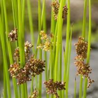 Moeringswaterplanten Pitrus (Juncus effusus) moerasplant - 6 stuks