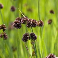 Moeringswaterplanten Zwaardrus (Juncus ensifolius) moerasplant - 6 stuks