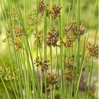 Moeringswaterplanten Zeegroene Rus (Juncus inflexus) moerasplant - 6 stuks