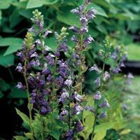 Moeringswaterplanten Virginische lobelia (Lobelia siphilitica) moerasplant - 6 stuks