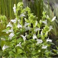 """Moeringswaterplanten Witte Virginische lobelia (Lobelia siphilitica """"Alba"""") moerasplant - 6 stuks"""