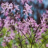 Moeringswaterplanten Echte koekoeksbloem (Silene flos-cuculi) moerasplant - 6 stuks