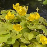 "Moeringswaterplanten Goud penningkruid (Lysimachia nummularia ""aurea"") moerasplant - 6 stuks"