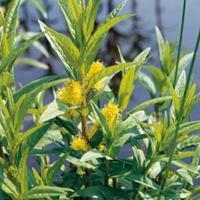 Moeringswaterplanten Moeraswederik (Lysimachia thyrsiflora) moerasplant - 6 stuks
