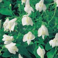 Moeringswaterplanten Witte mazus (Mazus reptans alba) moerasplant - 6 stuks