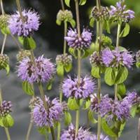 Moeringswaterplanten Polei (Mentha pulegium) moerasplant - 6 stuks