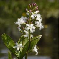 Moeringswaterplanten Waterdrieblad (Menyanthes Trifoliata) moerasplant - 6 stuks