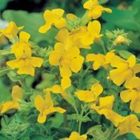 Moeringswaterplanten Gele maskerbloem (Mimulus luteus) moerasplant - 6 stuks
