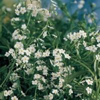 """Moeringswaterplanten Wit moerasvergeet-mij-nietje (Myosotis palustris """"alba"""") moerasplant - 6 stuks"""