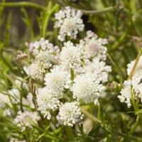 Moeringswaterplanten Watertorkruid (Oenanthe aquatica) moerasplant - 6 stuks