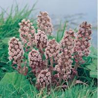 Moeringswaterplanten Groot hoefblad (Petasites hybridus) moerasplant - 6 stuks