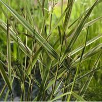 """Moeringswaterplanten Kanariegras (Phalaris arundinacea """"Picta"""") moerasplant - 6 stuks"""