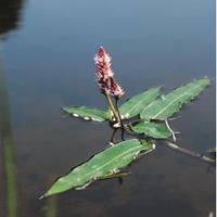 Moeringswaterplanten Veenwortel (Polygonum amphibium) drijfplant - 6 stuks