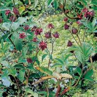 Moeringswaterplanten Wateraardbei (Potentilla palustris) moerasplant - 6 stuks