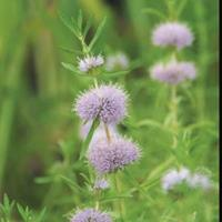 Moeringswaterplanten Engelse watermunt (Preslia cervina) moerasplant - 6 stuks