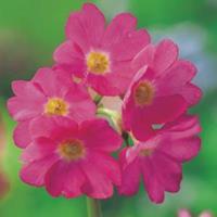 Moeringswaterplanten Roze sleutelbloem (Primula rosea) moerasplant - 6 stuks
