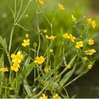 Moeringswaterplanten Egelboterbloem (Ranunculus flammula) moerasplant - 6 stuks